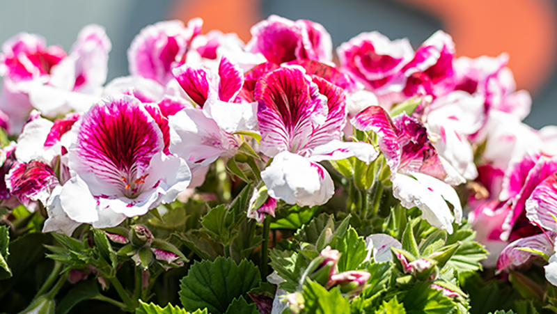 Pink and white geraniums.